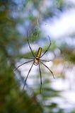 女性金黄网络蜘蛛(Nephila pilipes) 库存照片