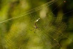 女性金黄网络蜘蛛Nephila pilipes 图库摄影