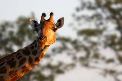 女性长颈鹿凝视 免版税库存图片