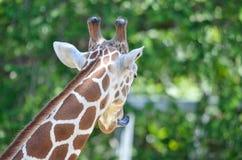 女性长颈鹿脖子 库存图片