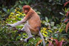 女性长鼻猴鼻肌larvatus 免版税库存照片