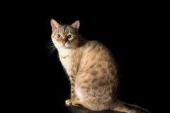 女性雪孟加拉家谱猫-演播室射击 库存图片