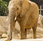女性非洲大象在徒步旅行队公园 免版税库存图片