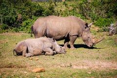 女性非洲Rhinocero和小犀牛的画象 免版税库存图片