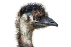 女性题头查出的驼鸟 免版税库存照片
