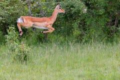 女性飞羚跳跃 库存图片