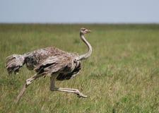 女性驼鸟运行中 免版税库存图片