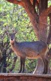 女性鹿动物园 库存图片