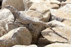 女性,鬣鳞蜥 免版税图库摄影