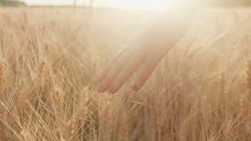 女性移交明亮的黄色麦子的小尖峰 在日落, steadicam射击前的晚上 股票录像