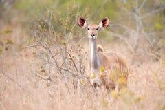 女性更加极大的kudu弯角羚类非洲羚羊&#318 库存照片