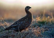 女性黑松鸡(北欧产雷鸟类tetrix) 免版税库存图片