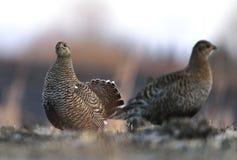 女性黑松鸡 免版税图库摄影