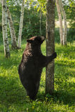 女性黑熊(美洲的熊属类)站立嗅树 免版税库存图片