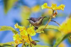 女性紫色Sunbird 免版税库存图片