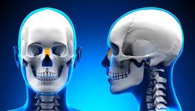 女性鼻骨头骨解剖学-蓝色概念 库存图片