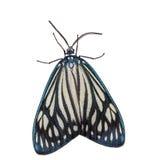 女性Drury的珠宝(Cyclosia papilionaris)飞蛾 图库摄影