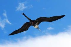 女性frigatebird壮观的辅助操作腾飞 免版税库存图片