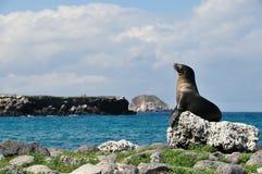 女性galpagos海岛狮子海运 免版税库存图片