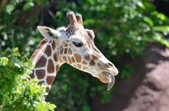女性giraffe3 免版税库存图片