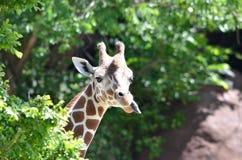 女性giraffe2 免版税库存图片