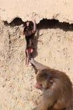 女性hamadryas狒狒和婴孩 库存图片