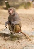 女性hamadryas狒狒画象 免版税库存照片