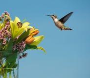 女性humingbird行动 免版税库存图片