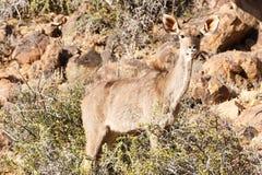 女性Kudu掩藏的-野生生物公园- Beaufort西部 免版税库存图片
