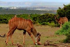女性Kudu,南非 免版税库存照片