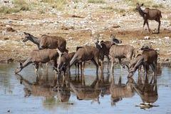 女性kudu 免版税库存图片