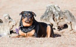 女性Rottweiler 免版税图库摄影
