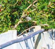 女性Sugarbird, Promerops cafer,与翼传播了准备好飞行 库存图片