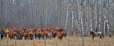 女牛仔hearding的母牛在亚伯大加拿大 库存图片