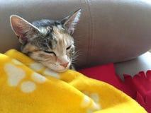 女王克力小猫 库存图片
