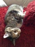 女王克力猫睡觉 免版税库存图片