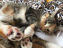 女王克力猫 库存照片