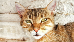 女王猫! 库存图片