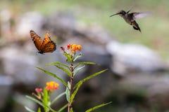 女王蝴蝶和蜂鸟在飞行中在橙色花附近 免版税库存图片
