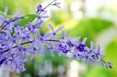 女王/王后的花圈藤花(紫色花圈花,沙纸藤 免版税库存图片