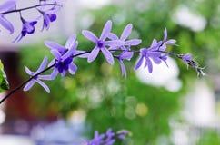 女王/王后的花圈藤花(紫色花圈花,沙纸藤 库存照片