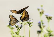 女王蝴蝶特写镜头在花飞行和栖息的 免版税图库摄影