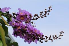 女王Crapemyrtle,开花在庭院里的紫色花 免版税图库摄影