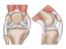 女主持人 结构膝盖关节传染媒介 皇族释放例证