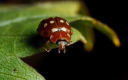 奶油斑点瓢虫(Calvia 14-guttata) 库存照片