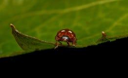 奶油斑点瓢虫(Calvia 14-guttata) 免版税库存图片