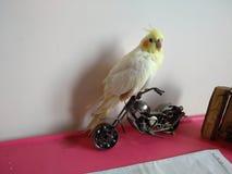 奶油色小形鹦鹉 免版税库存照片
