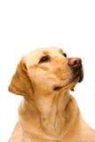 奶油色拉布拉多猎犬 免版税库存照片