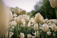 奶油色白色郁金香艺术印刷品在节日的 免版税库存照片