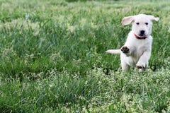 奶油色英国金黄拉布拉多猎犬 库存图片